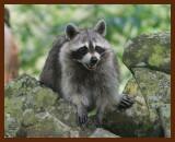 raccoon 7-6-07-4c2b.jpg