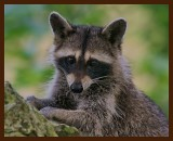 raccoon 7-14-07-4c2b.jpg