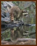 raccoon 9-20-07-4c16b.jpg
