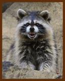 raccoon 11-5-08-4d574b.jpg