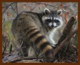 raccoon 11-24-08-4d641b.jpg