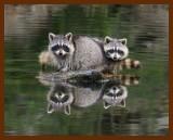 raccoons 12-2-07-4c99b.jpg
