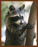raccoon-young 10-2-08-4d172b.jpg