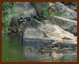 wood ducks-coon-6-5-07-4c3b.jpg