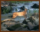 bobcat 9-24-08-4d875b.jpg