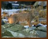 bobcat 11-3-08-4d311b.jpg