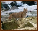 bobcat 11-22-08 4d354b.jpg