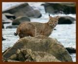 bobcat 11-22-08-4d367b.jpg