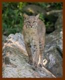 bobcat 6-2-08-4d659b.jpg