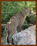 bobcat 6-2-08-4d663b.jpg