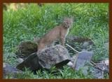 bobcat 8-31-09-4d540b.jpg