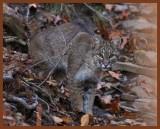 bobcat-11-10-11-058b.JPG