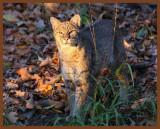 bobcat-11-10-11-068b.JPG