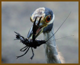 yellow crowned night heron-8-8-12-876b.JPG