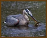 great blue heron-8-12-12-539b.JPG
