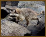 raccoon 8-10-12-767b.JPG