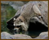 raccoon 8-10-12-773b.JPG