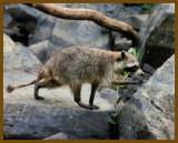 raccoon 8-10-12-785b.JPG