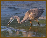 great blue heron-8-14-12-868b.JPG