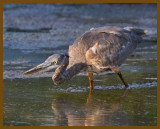 great blue heron-8-14-12-864b.JPG