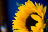 7th September 2012  sunflower