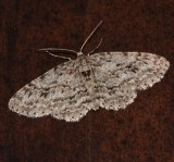 Small Engrailed Moth-Ectropis crepuscula
