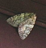 8877, Catocala connubialis, Conubial Underwing