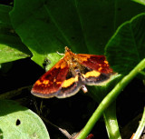 5058, Pyrausta orphisalis, Orange Mint Mmoth