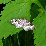 White-banded Toothed Carpet Moth 7394, Epirrhoe altrnata