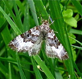 White-banded Toothed Carpet Moth, 7394