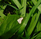 Spotted Grass Moth, Rivula propinqualis, 8404