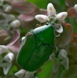 Green June Beetle, Cotinis nitida