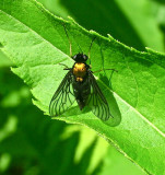 Golden-backed Snipe Fly, Chrysopilus thoraceus