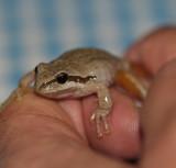 Tree Frog Sierra