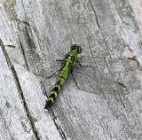 Green Pondhawk