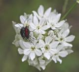 Beetles, Sierra