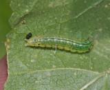 Sawfly Larva on Mallow