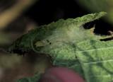 Sawfly Nest Hollyhock