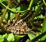 Pickrel Frog