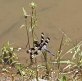 Twelve-spoted Skimmer