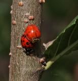 Lady Bug pair