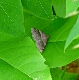 Spargaloma sexpuntata, Six-spotted Gray Moth, on Dogbane, 8479