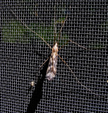 long legged insect