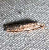 0862, Agonopterix clemensella
