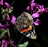 Red Admiral ventral