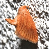4652, Tortricidia testacca, Early Button Slug