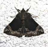 8445, Hypena abalienalis, White-lined Snout