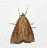 4937, Nascia acutella, Streaked Orange Moth