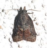 3740, Platynota idaeusalis, Tufted Apple Bud Moth