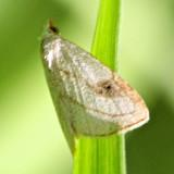 8404, Spotted Grass Moth